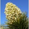 Drzewo Jozuego (Yucca brevifolia) 5 nasion