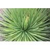 Agawa żeberkowana (Agave striata) 5 nasion