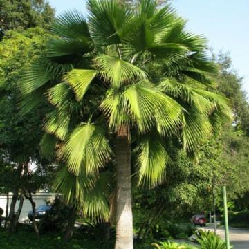 Brahea zielona (Brahea edulis) nasiona palmy