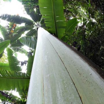 Największy banan świata Giant Highland Banana (Musa ingens)  nasiono
