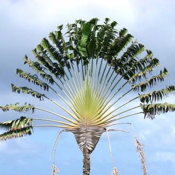 Drzewo podróżnych, pielgrzan (Ravenala madagascarensis) nasiona