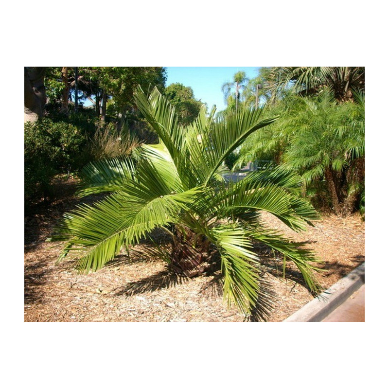 Chilijska palma miodowa (Jubaea chilensis)  nasiono