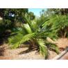 Chilijska palma miodowa (Jubaea chilensis) 1 nasiono