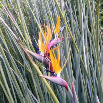 Strelicja królewska (Strelitzia junicea) nasiona