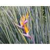 Strelicja królewska (Strelitzia junicea) 3 nasiona