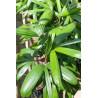 Palma biczowa rapis 'Taiwan' (Rhapis excelsa 'Taiwan')  nasiono