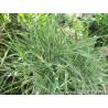 Mozga trzcinowata (Phalaris arundinacea var. Picta)