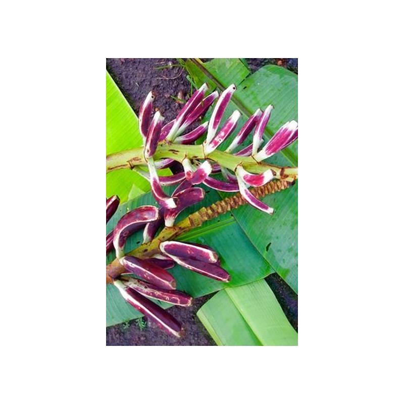 Banan bagienny (Musa campestris var. campestris) nasiono