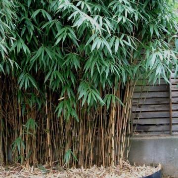 Pseudosasa japońska (Pseudosasa japonica) - zdjęcie poglądowe
