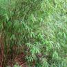 Fargezja wąska (Fargesia angustissima) - zdjęcie poglądowe