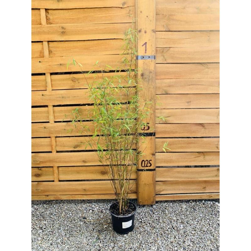 Fargezja wąska (Fargesia angustissima) 2,5 l
