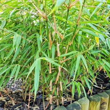 Fargesia rdzawa (Fargesia rufa) - zdjęcie poglądowe