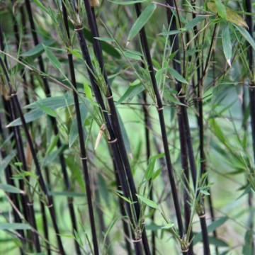 Czerwony bambus - Fargezja jiuzhaigou 'Deep Purple' 5 l