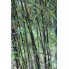 Czerwony bambus - Fargezja jiuzhaigou 'Deep Purple' - zdjęcie poglądowe