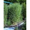 Fargezja 'Red Zebra' (Fargesia murielae) 10 l