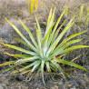 Agawa złocista (Agave aurea) 3 nasiona