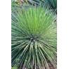 Agawa o cieniutkich liściach (Agave geminiflora) 3 nasiona
