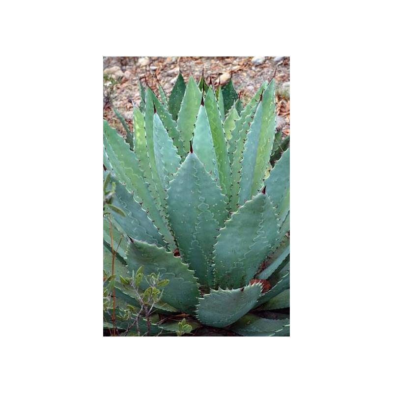 Agawa Maximiliana (Agave maximiliana) 3 nasiona