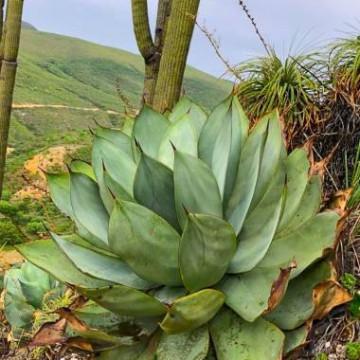 Agawa gipsowa (Agave gypsicola) 3 nasiona