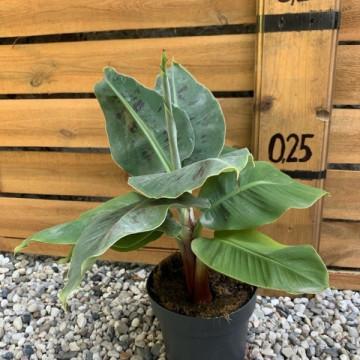 Banan karłowy (Musa acuminata 'Dwarf Cavendish') sadzonka