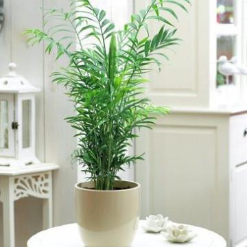 Palma Chamedora wytworna (Chamaedorea elegans) nasiona