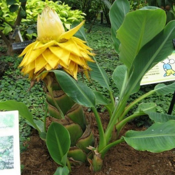 Złoty Lotos (Musella lasiocarpa) nasiona