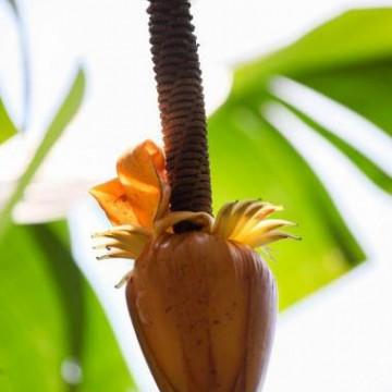 Banan (Musa borneensis var. flavida) 3 nasiona