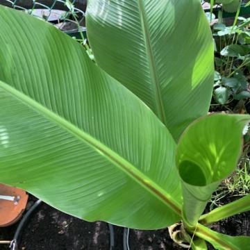 Banan abisyński (Ensete ventricosum 'Large Seed') 3 nasiona