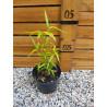 Bambus niespodzianka (Phyllostachys) - sadzonka 5l