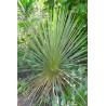 Juka sina (Yucca glauca) 3 nasiona
