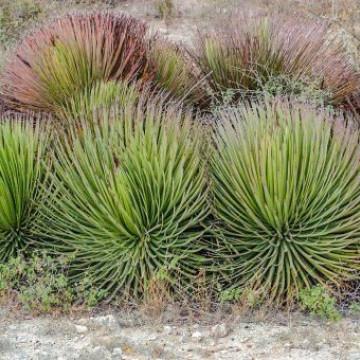 Agawa 'jeżozwierz' (Agave stricta) 3 nasiona