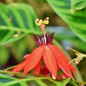 Czerwona passiflora (Passiflora manicata) 3 nasiona