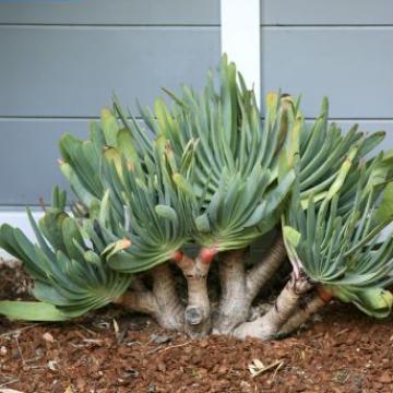 Aloes-wachlarz (Aloe plicatilis) 3 nasiona