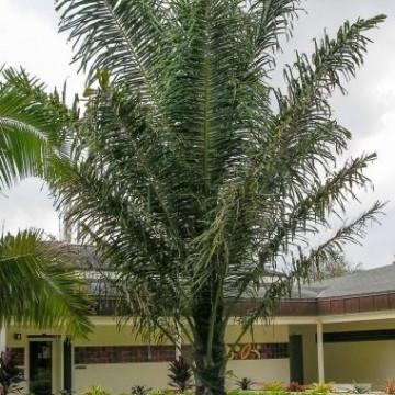 Palma cukrowa (Arenga pinnata) 3 nasiona