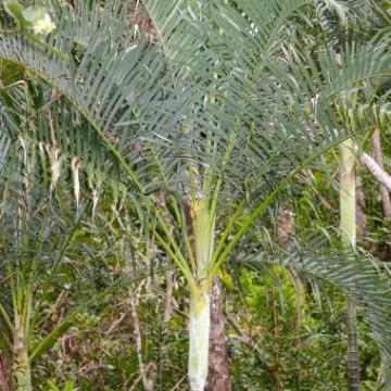 Palma piaskowa (Dypsis arenarum) 3 nasiona
