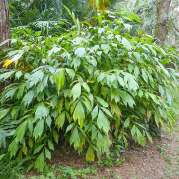 Miniaturowa palma cukrowa (Arenga caudata) 3 nasiona
