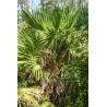 Palma igłowa (Serenoa repens) 3 nasiona