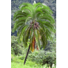 Daktylowiec z klifów (Phoenix rupicola) 3 nasiona