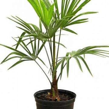 Szostkowiec Wagnera hybryda (Trachycarpus wagnerianus x Trachycarpus nanus) 1 nasiono