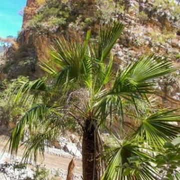 Palma skalna - Brahea zwyczajna (Brahea dulcis) 3 nasiona