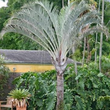 Palma trójkątna (Dypsis decaryi) 3 nasiona