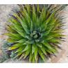 Agawa z Utah (Agave utahensis subsp. kaibabensis) 3 nasiona