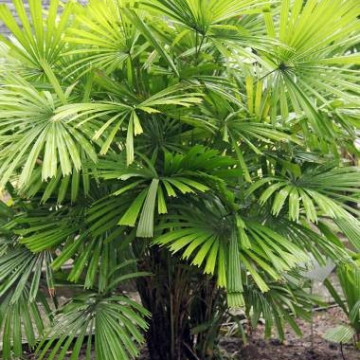 Likuala gładka (Licuala glabra var. Glabra) 3 nasiona
