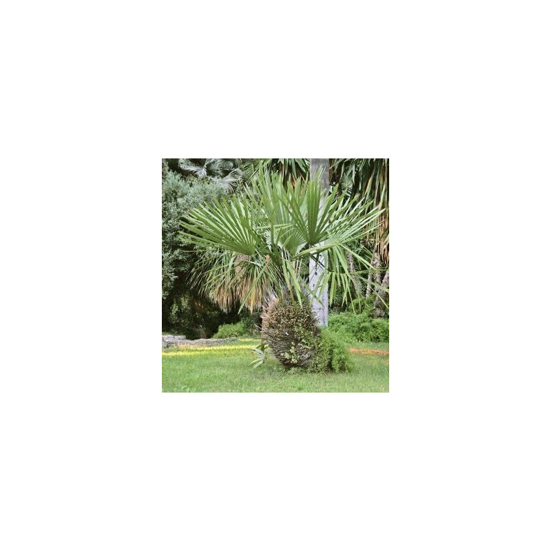 Palma igłowa (Rhapidophyllum hystrix) 3 nasiona