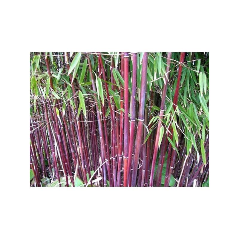 Zestaw 10 bambusów: Czerwony bambus - Fargezja 'Jiuzhaigou 1' 2,5l