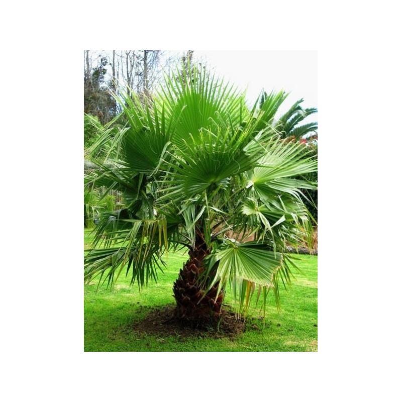 Waszyngtonia robusta (Washingtonia robusta) nasiona