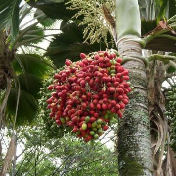 Palma bożonarodzeniowa (Adonidia merrillii) 3 nasiona