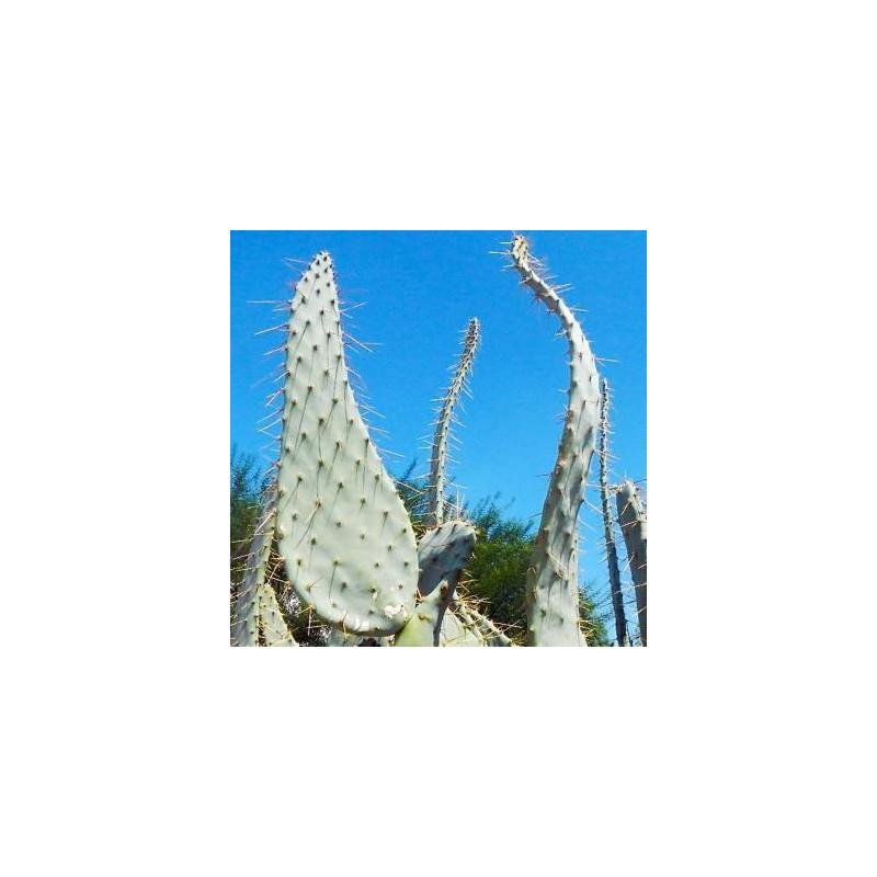 Opuncja 'Krowi język' (Opuntia engelmannii var. linguiformis) 3 nasiona