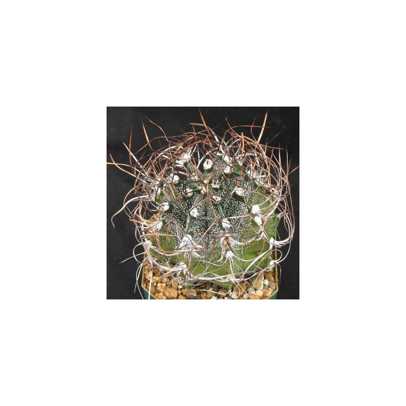 Kaktus 'Kozie rogi' (Astrophytum capricorne) 3 nasiona