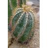 Kaktus 'Czapka biskupa' (Astrophytum ornatum) 3 nasiona